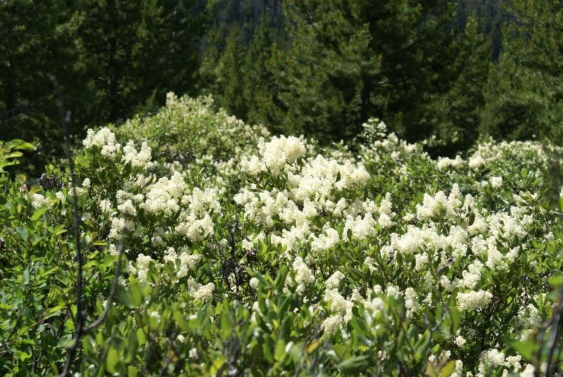 bloesem langs de Taggart Lake trail